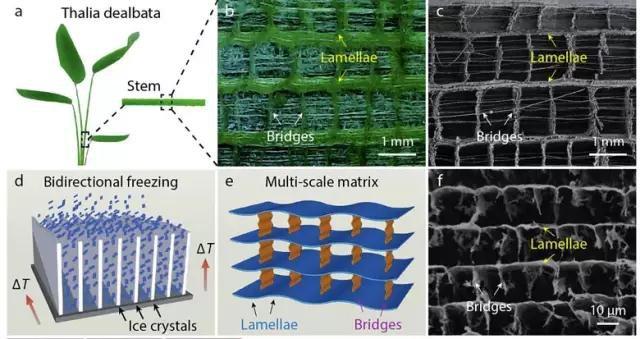 再力花茎干结构与仿生结构的石墨烯气凝胶